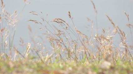 Wild grass swinging softly in wind
