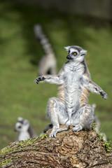 lemur monkey while spreading arms to the sun