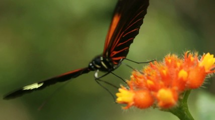 Heliconid butterfly  feeding on a Gurania flower, Ecuador