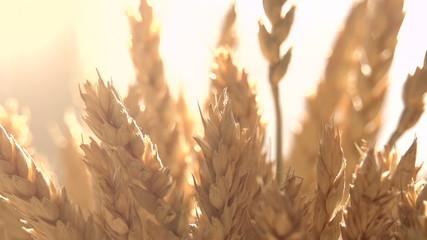 Ears of Wheat in the Sunlight