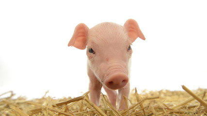 Piglet standing in straw and sniffing the camera