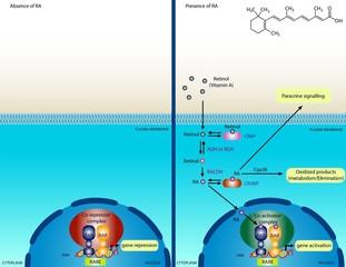 Retinoic acid signaling pathway
