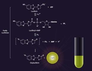 Luciferase reaction