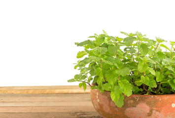 Fresh kitchen mint - herbs plant against white