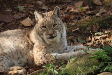 lince europea mammifero selvaggio carnivoro predatore