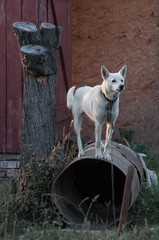 white dog on a metallic barrel