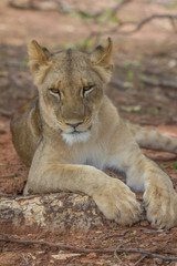 Resting Lion in Zambia