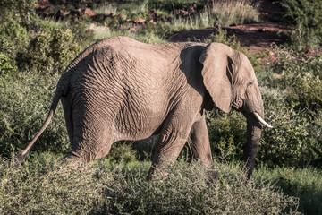 Elephant in South Africa Safari