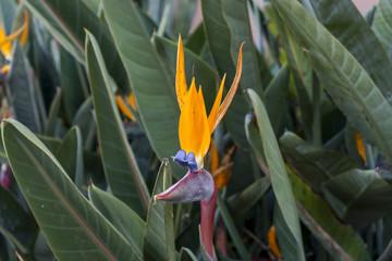 Single colorful blue and orange tropical Strelitzia
