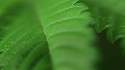 Macro of green Marijuana leaf, zoom effect.