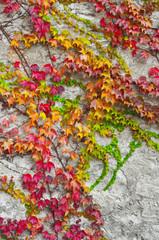 Ivy in autumn