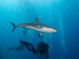 aqualungers and Caribbean reef sharks (Carcharhinus perezi)