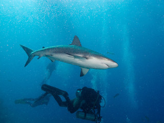aqualungers and Caribbean reef sharks (Carcharhinus perezi)