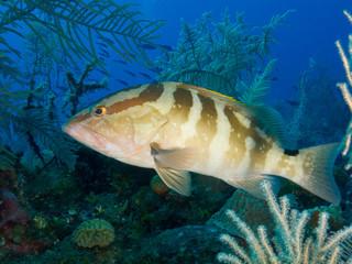 Nassau grouper (Epinephelus striatus) underwater