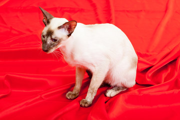 Siamese Cat sits on a silk red cloth