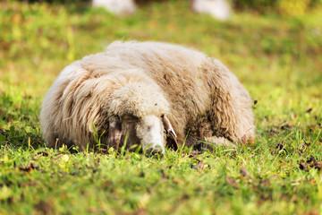 Sleeping sheep in autumn