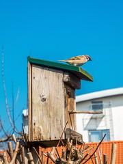 Spatz bewacht sein Vogelhaus