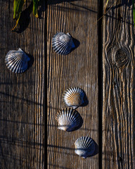 Scallop Shells on Weathered Wood
