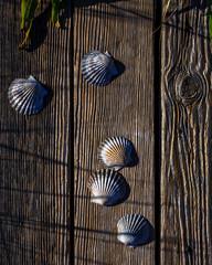 Scallop Shells on Weathered Wood