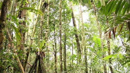Stilt roots of the palm (Iriartea deltoidea) in rainforest