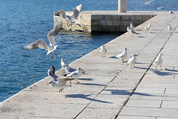 Group of seagulls eating bread at the shore.