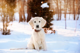 Fototapety Winter walk of golden retriever puppy