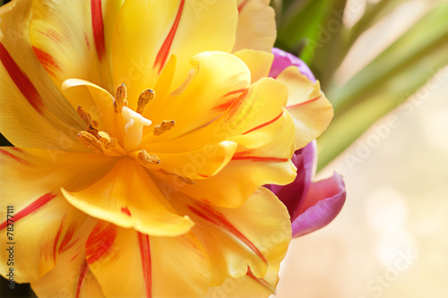 canvas print picture Yellow tulip