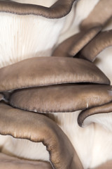oyster mushrooms as a background. close-up