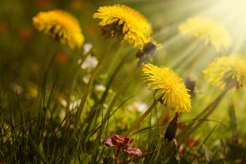 Löwenzahn, Frühlingswiese, Sonnenschein
