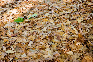 Dry leaves fallen on the ground with a green leaf