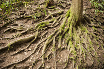 Tree root interlaced above ground