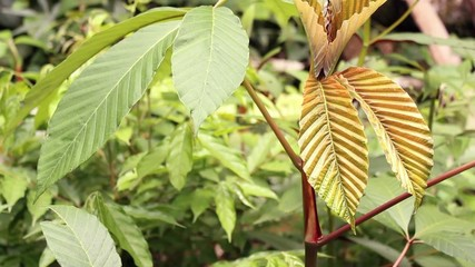 Young Cecropia tree growing in a rainforest clearing