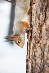 Squirrel on tree vertical