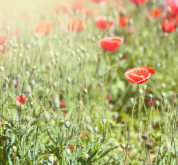 Poppies in a green park, spring background