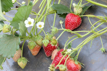 stawberry farm use plastic agriculture