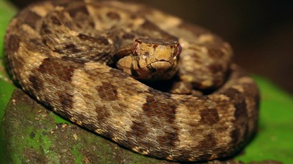 Fer de Lance (Bothrops atrox) in the rainforest, Ecuador