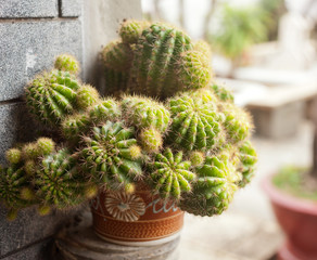 decorative green cactus, close-up