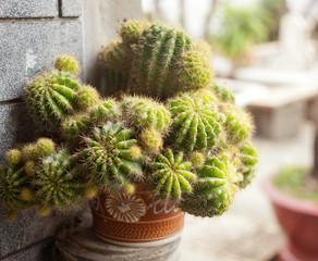 decorative green cactus, close-up