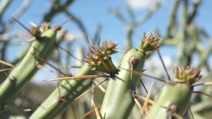 Pencil Cholla Cactus Sprouting Macro