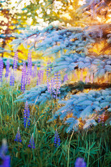 Lupine flowers and  blue spruce in the sunset sunlight
