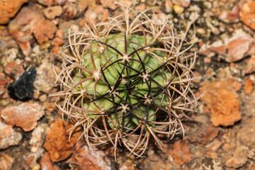 the cactus in dry area