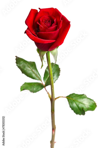 Fotobehang Rozen beautiful red rose isolated on white background