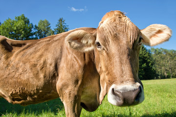 Close up of a cow in a green meadow