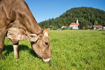 Cow grazing in a green meadow, village in the background