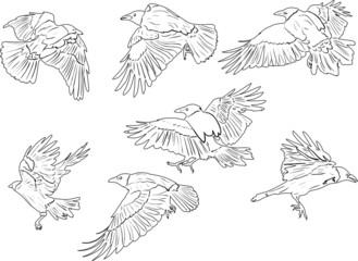 set of seven isolated crows sketches