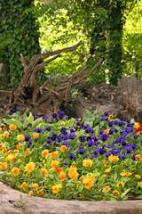 pansy flowers garden in park springtime