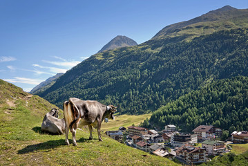 Cow overlooking the village of Vent in Otztal, Tyrol, Austria