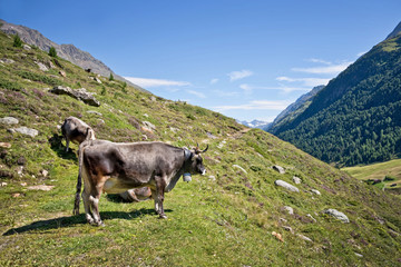 Tyrolese grey cow in an alpine pasture, Tyrol, Austria