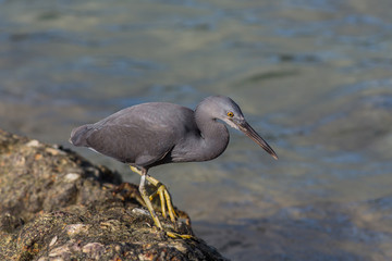 Dark reef heron