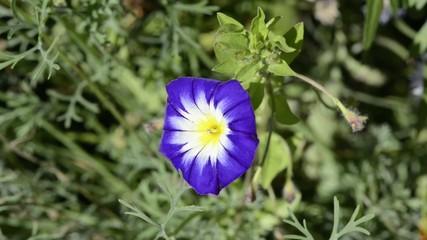 Hummel auf blauer Sommerblume